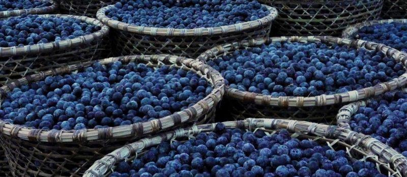 acai berry ayuda a reducir los niveles de colesterol