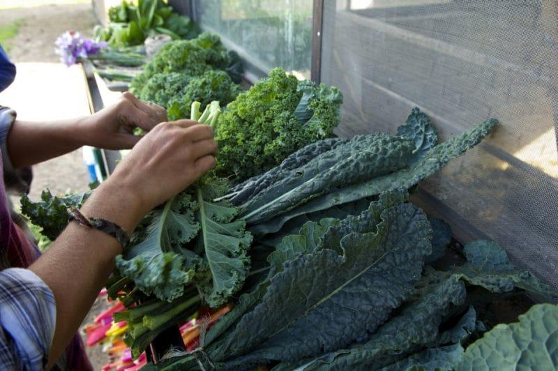 cómo cultivar kale