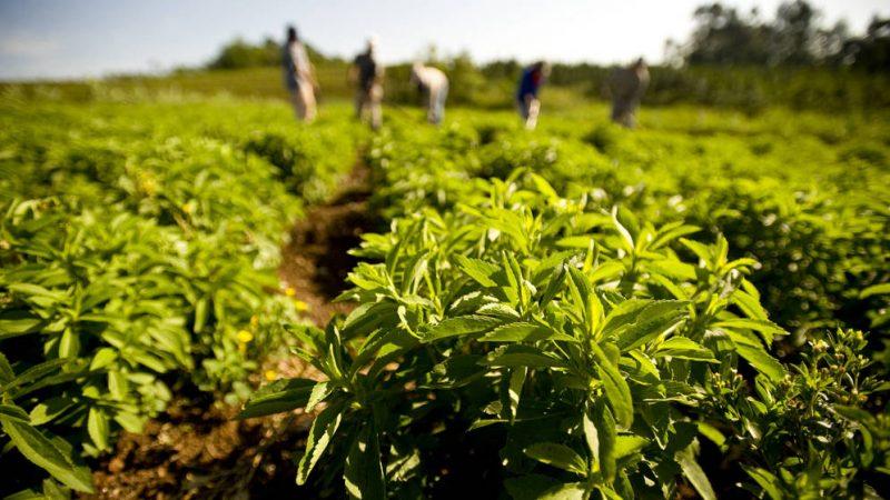 cómo cultivar stevia en casa