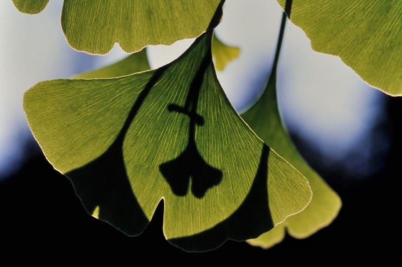 contraindicaciones del ginkgo biloba