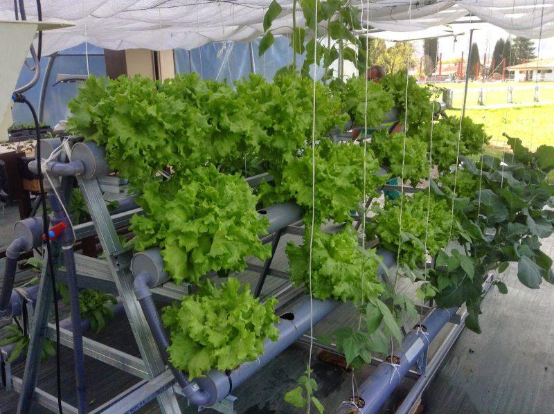 cultivo de kale hidropónico