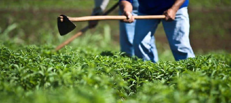 cultivo y proceso industrial de la stevia