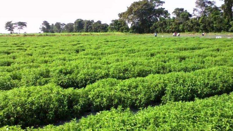 historia de la stevia