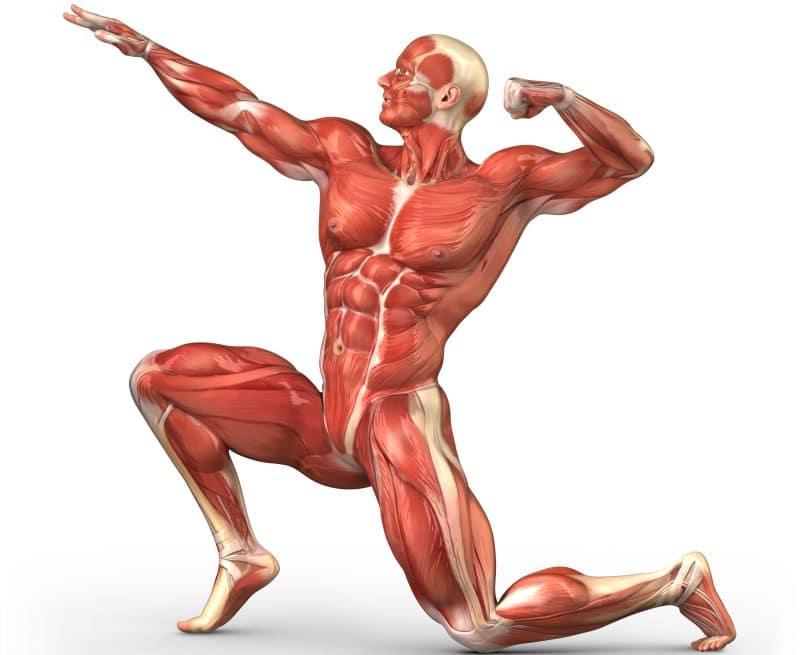 quinoa masa muscular