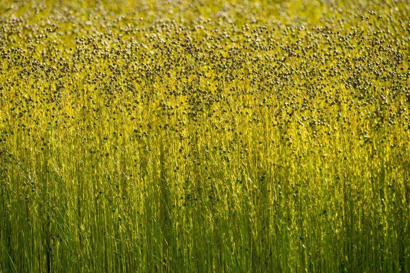 semillas de lino curiosidades