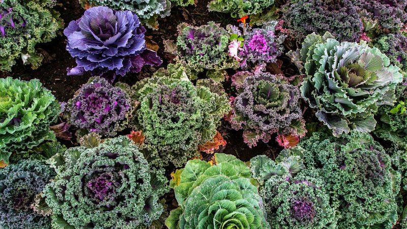 tipos de kale kale ornamental